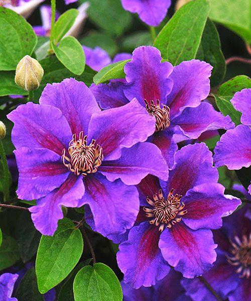 Plamének ´Ashva´. Clematis. Světle fialové velké květy opticky zvětšené tmavými proužky. Vydrží kvést velmi dlouho. Plaménky kvetou na loňském dřevě, proto je nezkracujte na jaře, ale až po odkvětu! Stanoviště:slunce - polostín, doba kvetení: červen - září, výška:asi 1,8 m.