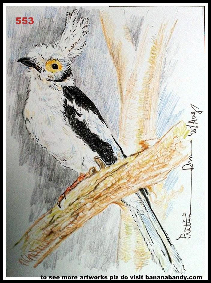 FOREIGN BIRDS ON MY CANVAS # 24/553.. WHITE CRESTED HELMET SHRIKE .... COL PENCIL & GELPEN ...7*8INCH... 2015 ... The white-crested helmetshrike (Prionops plumatus), also known as the white helmetshrike, is a species of passerine bird in the helmetshrike family Prionopidae, formerly usually included in the Malaconotidae. It is found in Angola, Benin, Botswana, Burkina Faso, Burundi, Cameroon, Central African Republic, Chad, Democratic Republic of the Congo, Ivory Coast, Eritrea, Ethiopia…