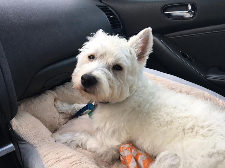Oscar is an adoptable West Highland White Terrier Westie searching for a forever family near Dunn Loring, VA. Use Petfinder to find adoptable pets in your area.