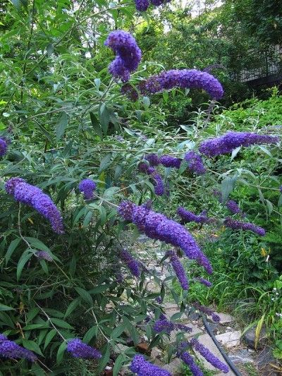 Butterfly Bush Planting: Tips On Caring For Butterfly Bushes