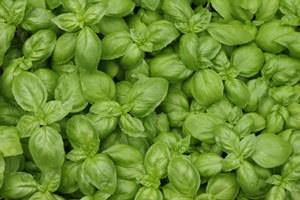Well,now that summer is coming to an end. You probably are wondering what you are going to do for that fresh basil flavour that you have been enjoying all summer long. No need to fret! We have the simple solutions for you.  http://FourSeasonGourmet.com/how-to-freeze-and-store-fresh-basil/ #kitchentips #basil