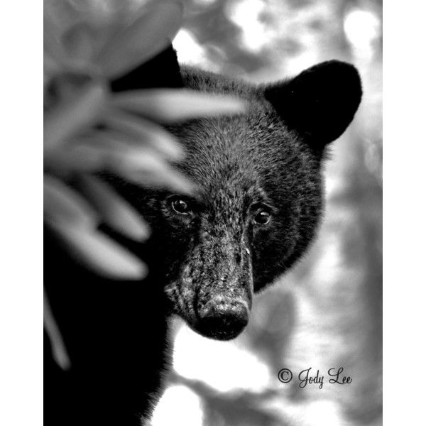 Bear, Black Bear, Nature photography, North Carolina, Wildlife... ($12) ❤ liked on Polyvore featuring home, home decor, wall art, black bear home decor, black home accessories, mountain home decor, black home decor and photographic wall art