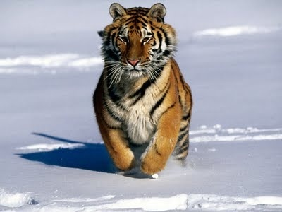 A few days ago, the Wildlife Conservation Society released a report that shows the last remaining population of Siberian Tigers has declined significantly, due to poaching and habitat loss. The 12 year average showed a 40% decline.    In the late 40s only 30 of these magnificent cats were known, and the population had recovered to 500 animals by 2005. However, in the past 4 years a trend of declining tigers has been noticed.