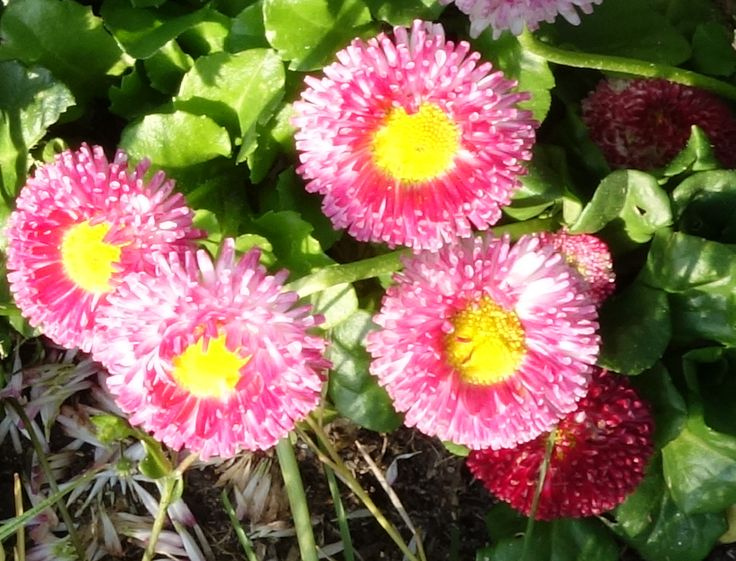 Rosa Gänseblümchen im Sonnenschein