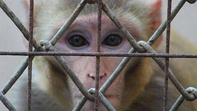 Suisse : une université va donner de la cocaïne à des singes ! 😡😡