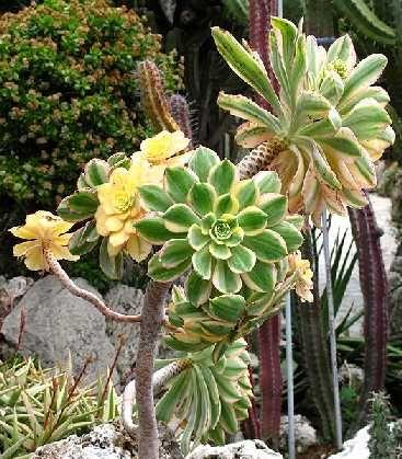 plante grasse palmier