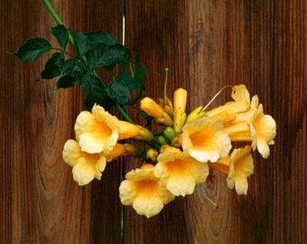 Vid de trompeta de oro, 15 semillas, Campsis radicans flava, flores enormes, cepa vigorosa, fácil de cultivar, zonas 6 y 11, sol o sombra, colibríes!