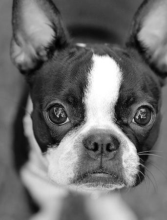 Boston Terrier! I miss nolla.