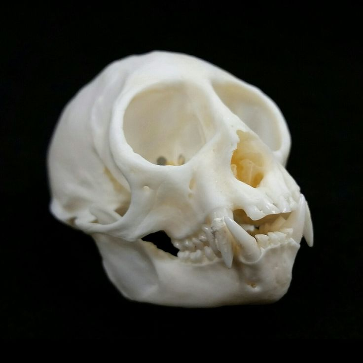 Squirrel monkey skull for sale! The common squirrel monkey (Saimiri sciureus) is a small primate, primarily indigenous to the Amazon basin. Their diet primarily consists of fruit and insects, though they also forage for small vertebrates. This skull...