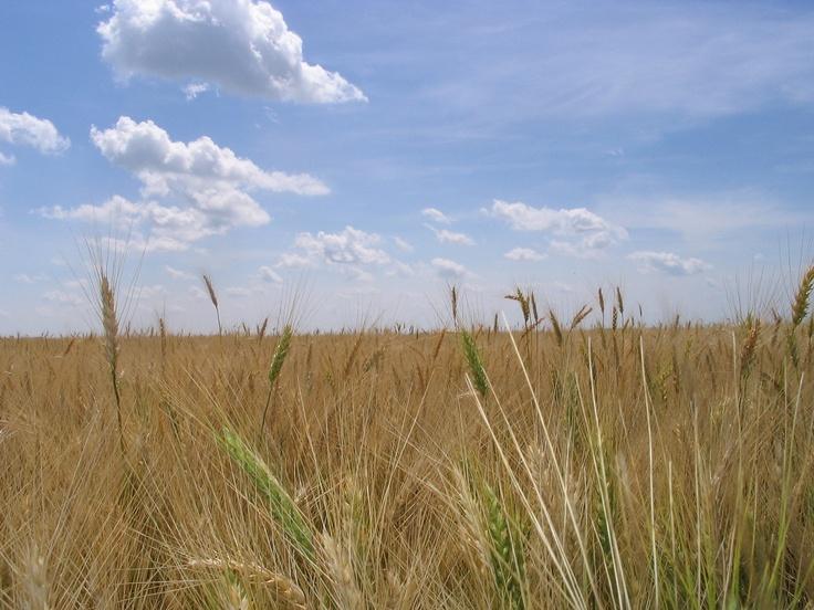 Prairie wheat field, St Norbert, MB