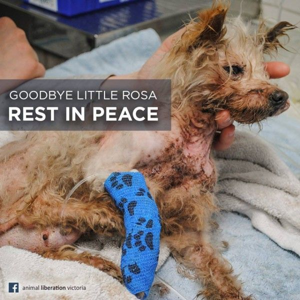 Justice for Rosa! Shut Down The St Kilda Puppy And Kitten Breeding Facility!