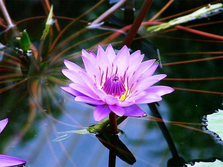 Gambar Bunga Teratai Biru