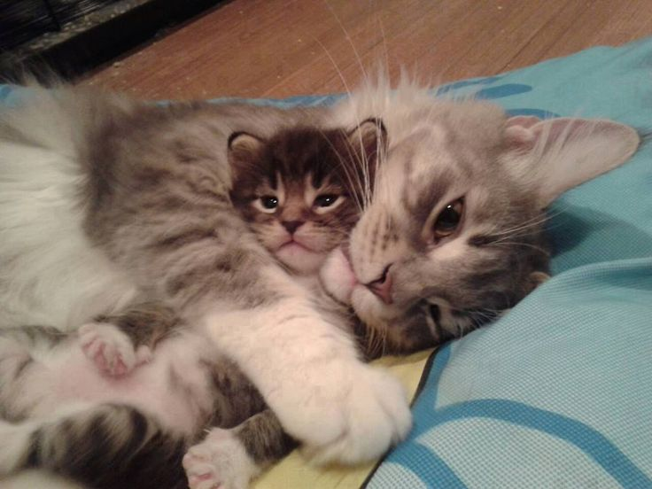 Cat mom and kitten