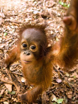 Adorable Rescued Orangutans   Orangutans in Borneo   Photo Galleries and News Photos   News Pictures and Photos   Herald Sun http://www.heraldsun.com.au/news/victoria/gallery-fni0fit3-1226703355570?page=8