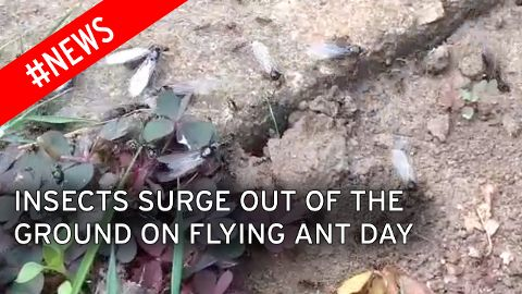 England has swarms of flying ants come surging out of the ground.