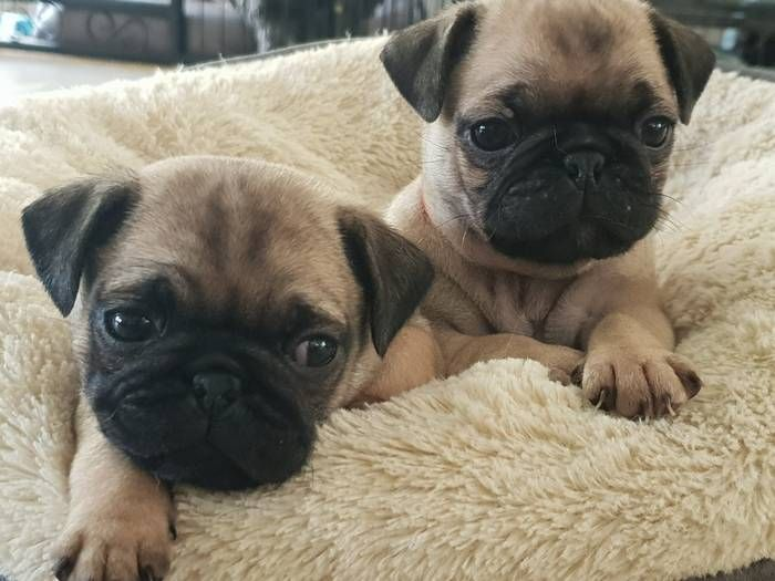 2 Female Pug Puppies Pug Puppies Pugs Dogs And Puppies