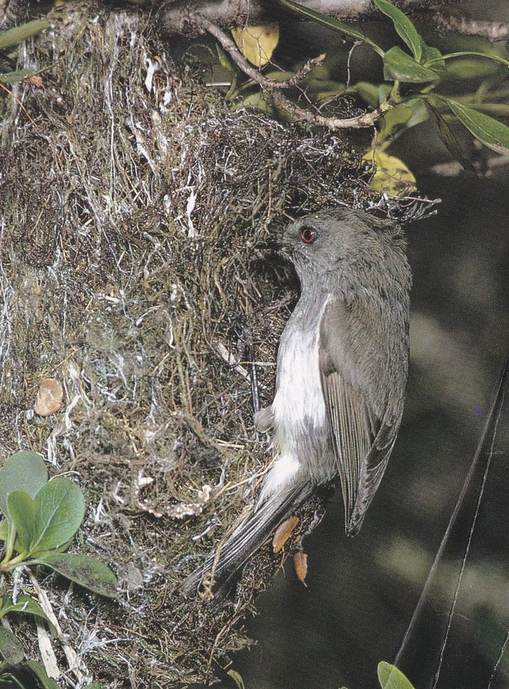 The grey warbler is another small bird whose actions are thought to foretell the future.