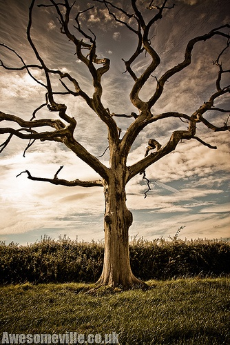Dead Tree In The Countryside.