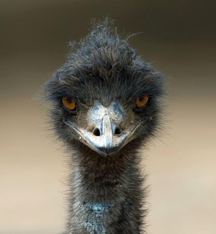 Emu, the largest bird native to Australia.