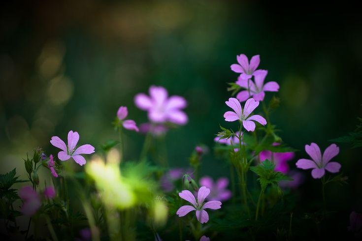 pixelcandy - Flower Bokeh