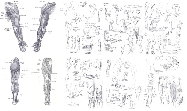 arm  leg study from  u0026quot atlas of human anatomy for the artist