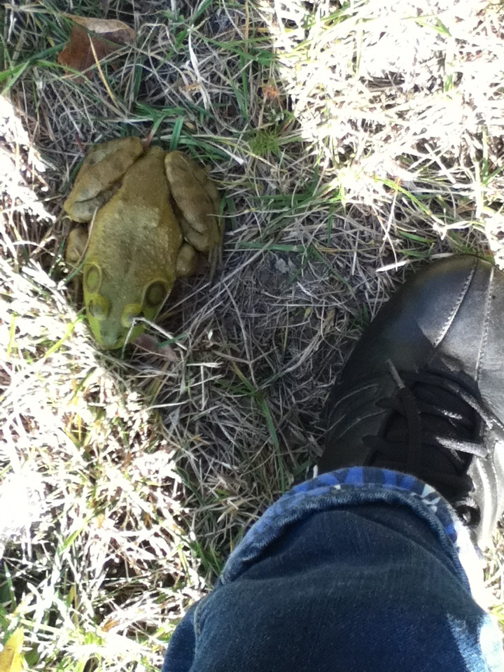 A large bull frog the size of my foot!
