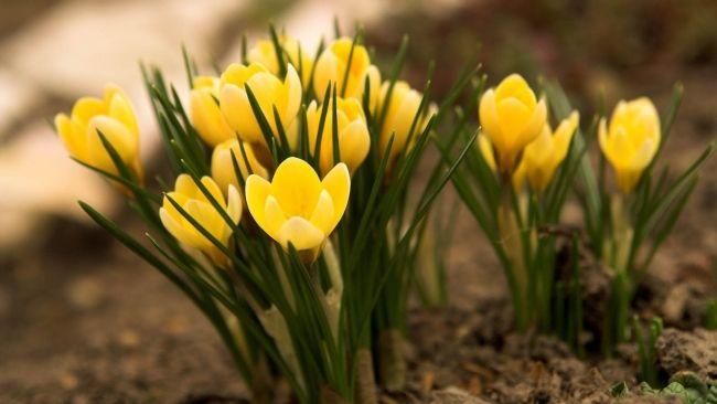 Herunterladen 1920x1080 Full HD Hintergrundbilder frühlingsblumen gelb schneeglöckchen 1080p