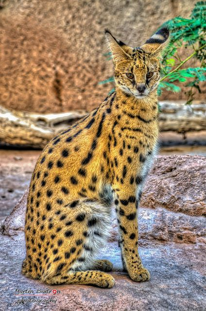 Serval Cat - photo by Martin Buitron, via Flickr;  The serval (Leptailurus serval) is a medium-sized African wild cat. Servals have the longest legs of any cat, relative to their body size. The head is small and their tail is short. The serval is boldly spotted black on tawny, with two or four stripes from the top of the head down the neck and back, transitioning into spots.   - info from Wikipedia