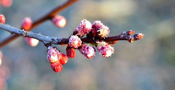 Temperaturile pericol pentru mugurii și florile pomilor, primăvara | Paradis Verde