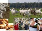 Op onze geitenboerderij houden wij een kijk en proef excursie   Minicamping Schotererf en De Heerlijkheid Kuunder organiseren samen een excursie op een ekologische geitenboerderij. U zal een rondleiding krijgen over het bedrijf door de boer. Na afloop van de rondleiding staat de boerin klaar met een proeverij. Alle gerechten zijn bereid met geitenmelk.