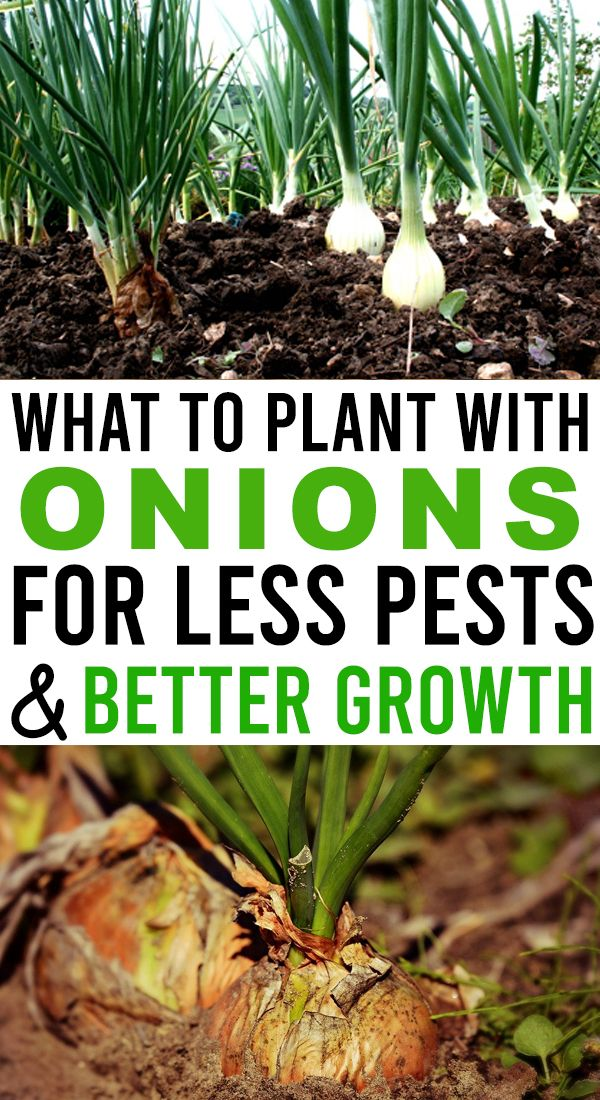 The Best Onion Companion Plants!  – Home and Garden