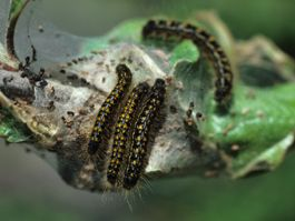 The western tent caterpillar attacks a wide range of hosts including apple, peach, plum, cherry, pear, wild rose, poplar and willow. The forest tent caterpillar prefers maple but will also feed on the foliage of most types of fruit trees.