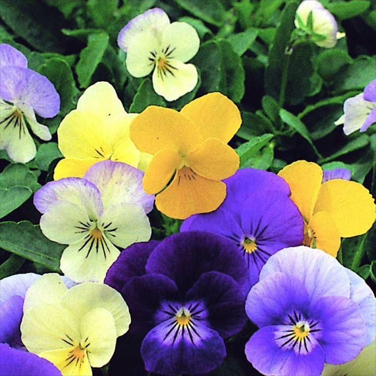 Det är väl aldrig fel med söta små violer. Som penséer fast mindre blommor. Just denna Symphonia Mixed får du en härlig blandning av färg. Tänk på att det är viktigt att de unga plantorna inte torkar ut.  #violer #viol #blommor #flowers #flowerstagram #wexthuset #fröpåsar #fröer