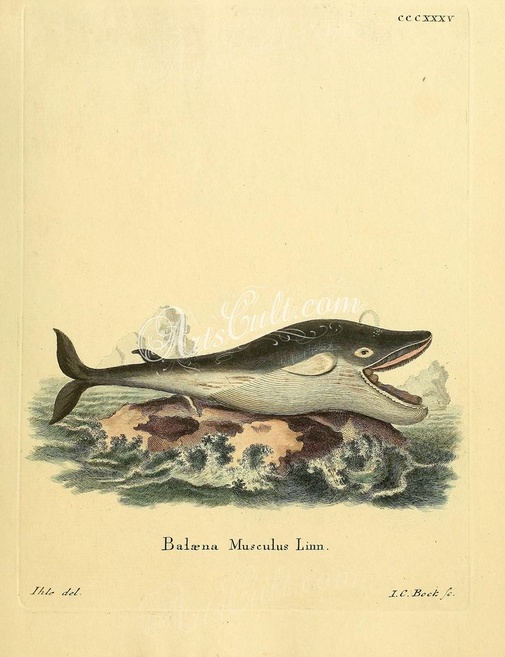 mammals-01746 – Blue Whale [2336×3041] – ac