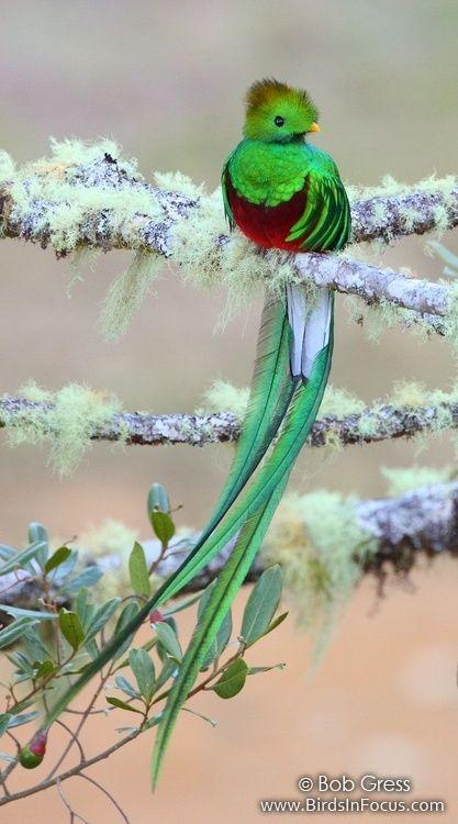El #quetzal macho de América central ostenta mas más gigantescas y hermosas #plumas de #colores exóticos en la cola, miden más del doble de su tronco. Con ellas atrae a la hembra, y se le caen pasada la época de celo.