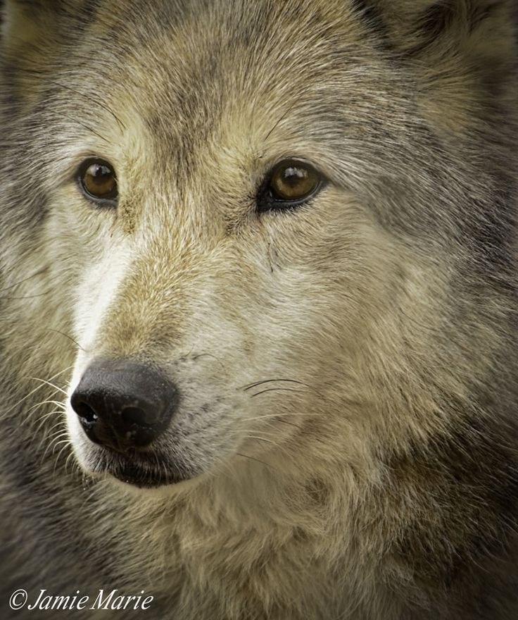 Intelligent Magnificent Face Portrait Of A Wolf By
