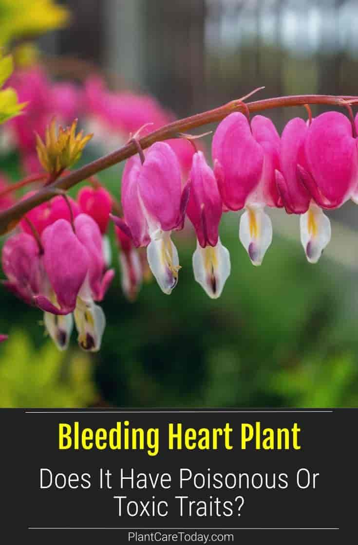 Bleeding Heart Plant Poisonous In 2020 Bleeding Heart Plant Bleeding Heart Plants