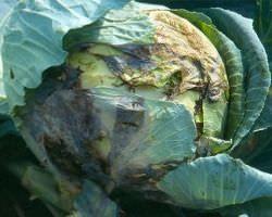 Вредители капусты и как с ними правильно бороться