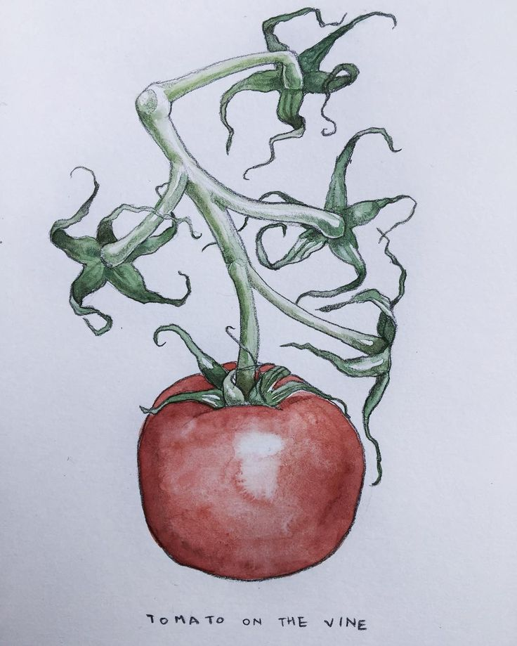 EOBrownArt: Sketch of a tomato in watercolor and balance colored pencil, sketchbook drawing