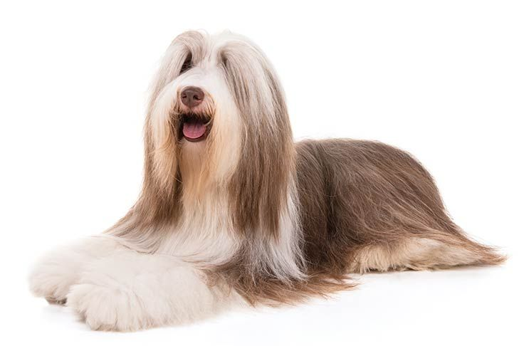 Bearded Collie Dog Breed Information Bearded Collie Big Fluffy