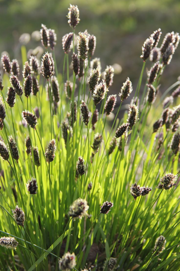 Sesleria heufleriana (Blue-green Moorgrass)