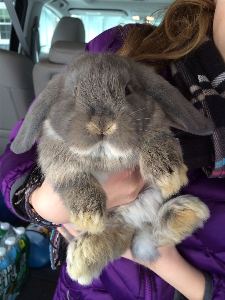 Adorable holland lop bunny! Getting excited!! Going to see my sister in law next week and all her baby bunnies!!!! Girls can't wait!