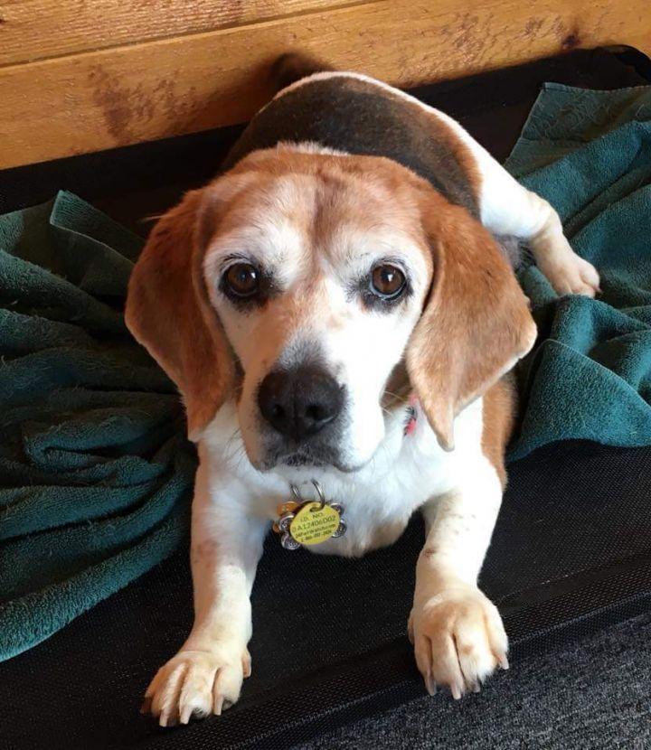 Adopt Sally Adopted On Adoption Pet Adoption Beagle Dog