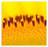 sunflower facts... School garden