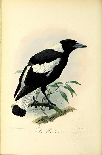 Onze vogels in huis en tuin /. Leyden :P.W.M. Trap,1869-1876  or better known as a magpie