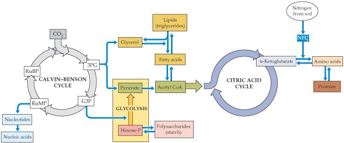 citric acid cycle and photosynthesis Introducing: the citric acid cycle - the reactions the citric acid cycle is a metabolic pathway that uses a two-carbon molecule, and a four-carbon molecule to form a six-carbon molecule that is used to produce nadh, carbon dioxide, atp and fadh2.