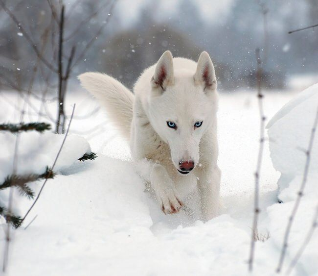 1000+ Ideas About White Siberian Husky On Pinterest