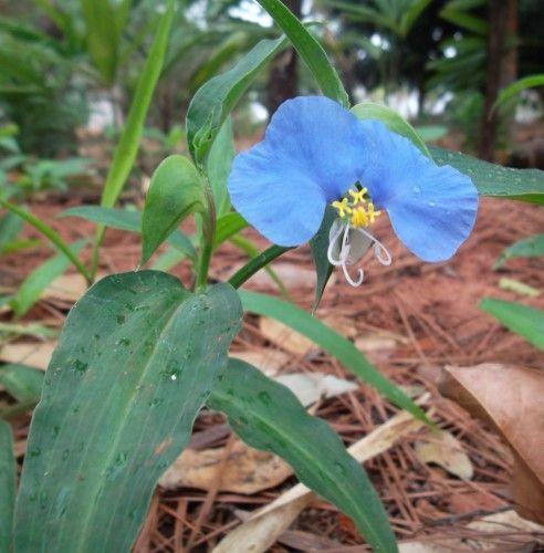 Onde Encontrar Erva de Santa Luzia ou Planta Danadinha | As Plantas Medicinais