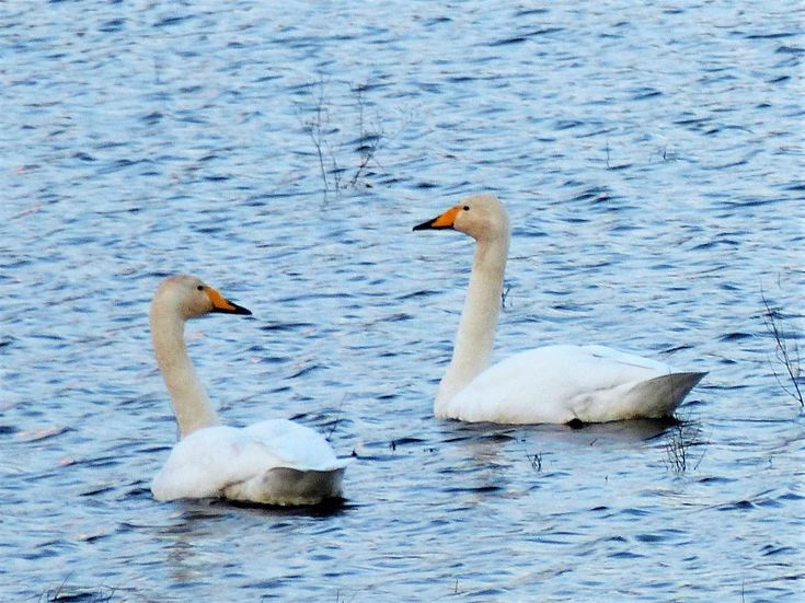 Whooper swans, Ballyallia Lake, December 2017.