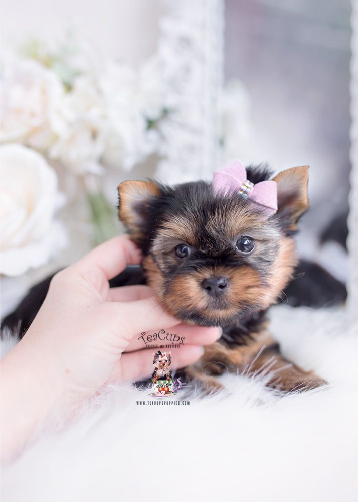 Maltese Puppies For Sale In Florida Craigslist